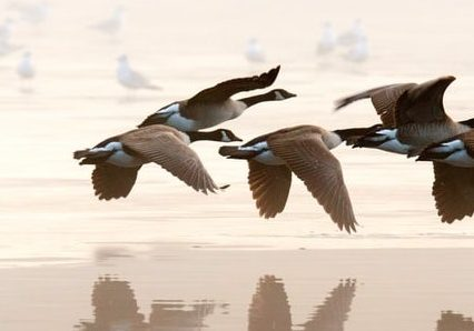 Organization agility during crisis compared to instinct in geese to lead